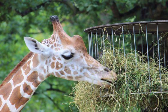 Berlin Tierpark Friedrichsfelde, Giraffe