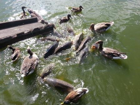 feeding hungry carps